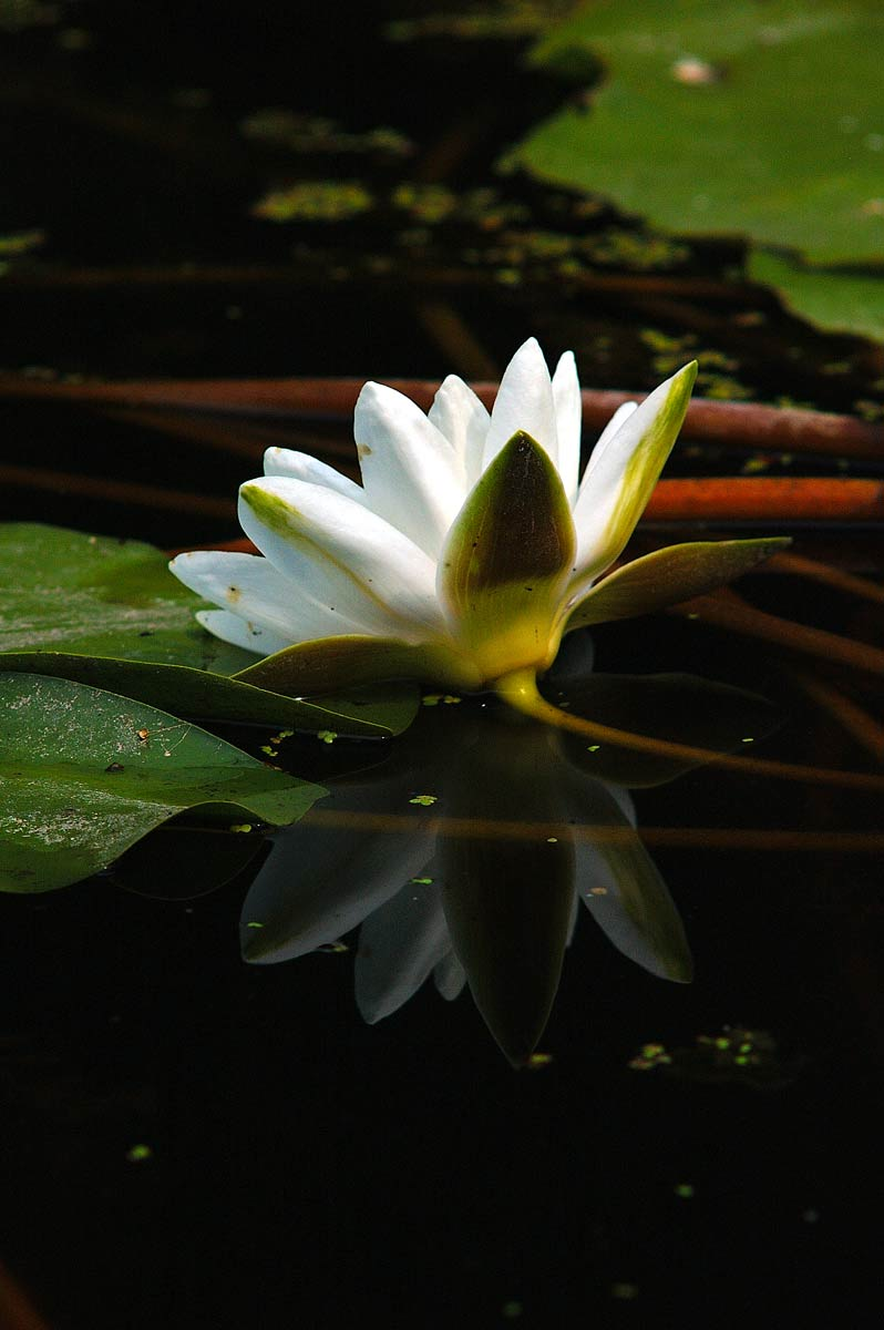 White Waterlily (Nymphaea alba)