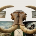 Woolly mammoth (Mammuthus primigenius )