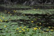 Yellow Water-lily (Nuphar lutea)